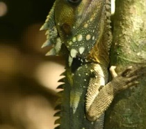 Boyds Forest Dragon seen on Rainforest guided walks
