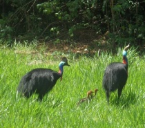 Cassowaries with Chicks